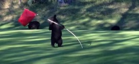 Bear spins in circles on golf course (Video)