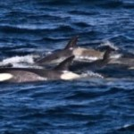 Census : Orca population in Puget Sound declining
