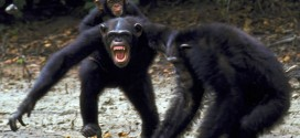 Humans and chimps share killer instinct say researchers