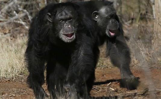 Pet chimpanzees suffer behavioural problems, Study
