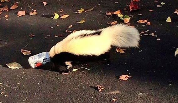 Skunk with head stuck in beer can is rescued (Photo)