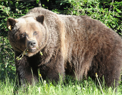 Banff residents warned grizzly bear spotted around town : officials