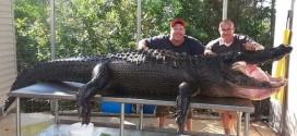Florida Men Capture 'Lumpy,' a 765-Pound Alligator (Video)