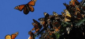 Gene key to monarch butterfly's miraculous migration, study shows