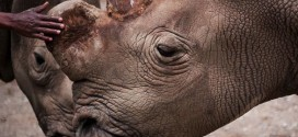 Rare White Rhino Dies in Kenya, Highlights Risk of Extinction