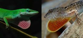 Researchers amazed how quickly lizards evolved new feet