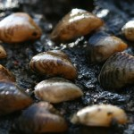 UK : Warning as alien mussels found near Heathrow airport