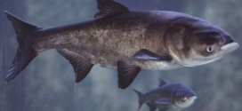 US : Asian carp DNA found in Fox River