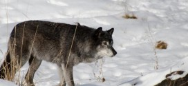 US : Two wolf harvest zones remain open