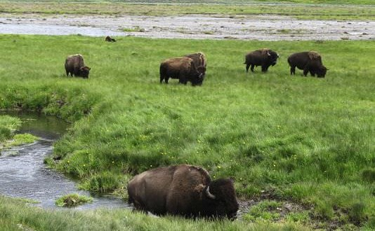 Wildlife reserve won't get Yellowstone bison, Report