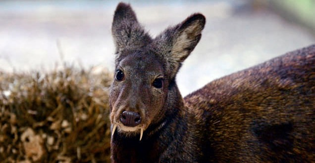Afghan Fanged Deer spotted after 60 years : WCS
