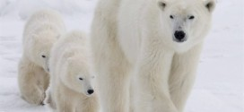 Arctic habitat fear for polar bears, new study says