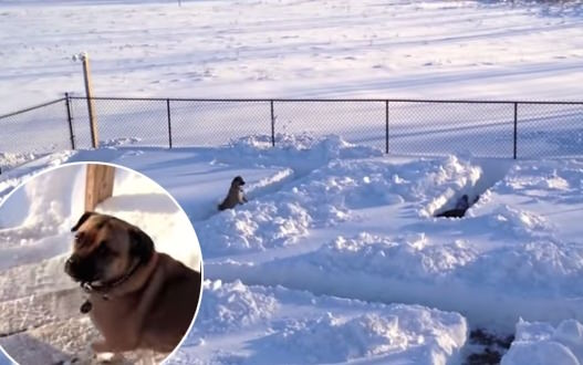 Dog Snow Maze – Video : Ginzey Outsmarts Humans in Snow Maze Game