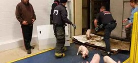 Piglets Rescued After Indiana Highway Crash (Video)