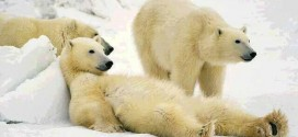 Researchers Report Steep Decline in Number of Polar Bears