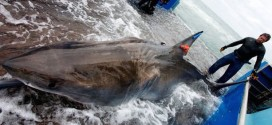 Lydia : Great white shark's reappearance in NL intrigues research group