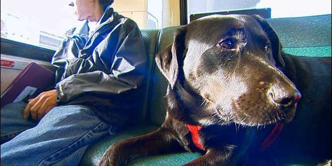Black Lab Rides Seattle Bus To Dog Park Alone (Video)