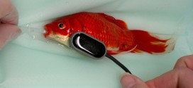 Constipated Goldfish : Pet Owner Saves Goldfish, Spends $500 On Operations