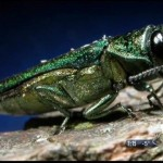 Emerald ash borer has appetite for other trees too, new study says