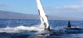 Humpback Rams Whale Watching Boat : Video shows moment mother humpback whale rams into boat off Hawaii