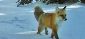 Sierra Nevada Red Fox Spotted in Yosemite Park (Photo)