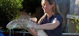 Two baby Zebra sharks on display at Aquarium of Pacific