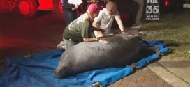 19 manatees freed after being stuck in drain (Video)