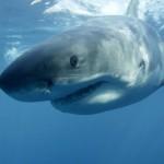 Great white shark lurking near Washington State's Ocean Shores