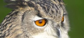 Owl Causing Terror in Dutch Town: Residents Threatened By Owl Attacks (Video)