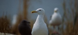 Seagull numbers in Strait of Georgia down by half, says UBC study