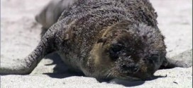 BC Vancouver Aquarium staff helping rescue starving sea lion pups in California