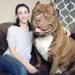 Hulk Pit Bull : World's largest pit bull might also be the world's sweetest (Video)