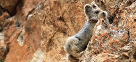Ili Pika Seen After 20 Years : Scientists locate extremely endangered rare mammal in China