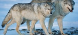 BC government Completes Wolf Cull, 84 Killed