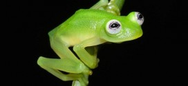 Frog Species Looks Like Kermit : New Glass Frog Species Discovered in Costa Rica (Video)