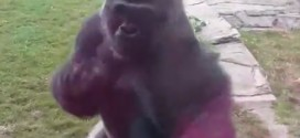 Gorilla cracks glass at zoo and terrifies young family (Video)