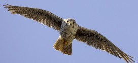 Record levels of pollutants found in a hawk in Langley, Study