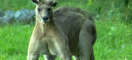 Buff Kangaroo Intimidates Australians By Flexing (Video)