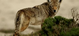 Coyote Attacks 3-Year-Old Girl, leaving minor wounds