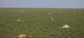 Researchers in tizz over deaths of rare antelope