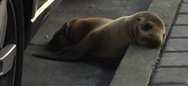 San Francisco : Sea Lion pup rescued after wandering on streets