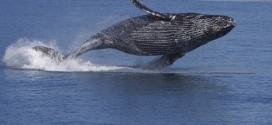 Scientists Found a Bungee Cord Like Nerve System in Whales