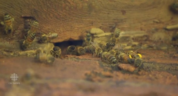 50,000 bees removed from Ont. home (Video)