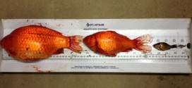 Albertans warned not to flush 'invasive' goldfish (Video)