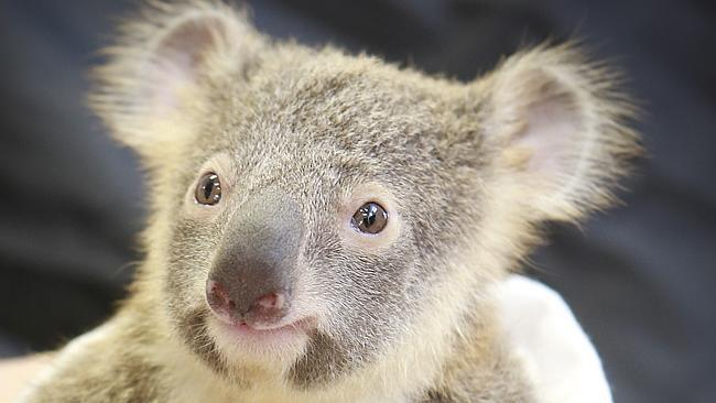 Australia Zoo : Koala hangs on to mom during life-saving surgery