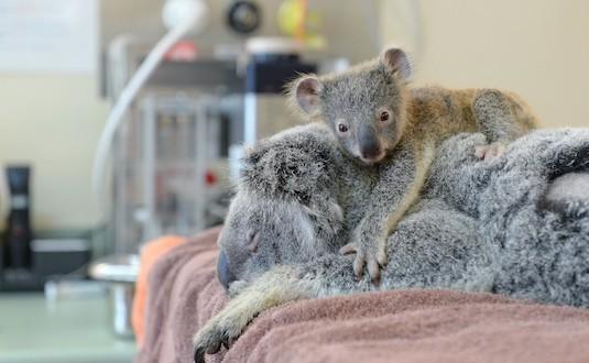 Australia Zoo : Adorable baby koala clings to mom during life-saving surgery at Australia zoo (Photo)