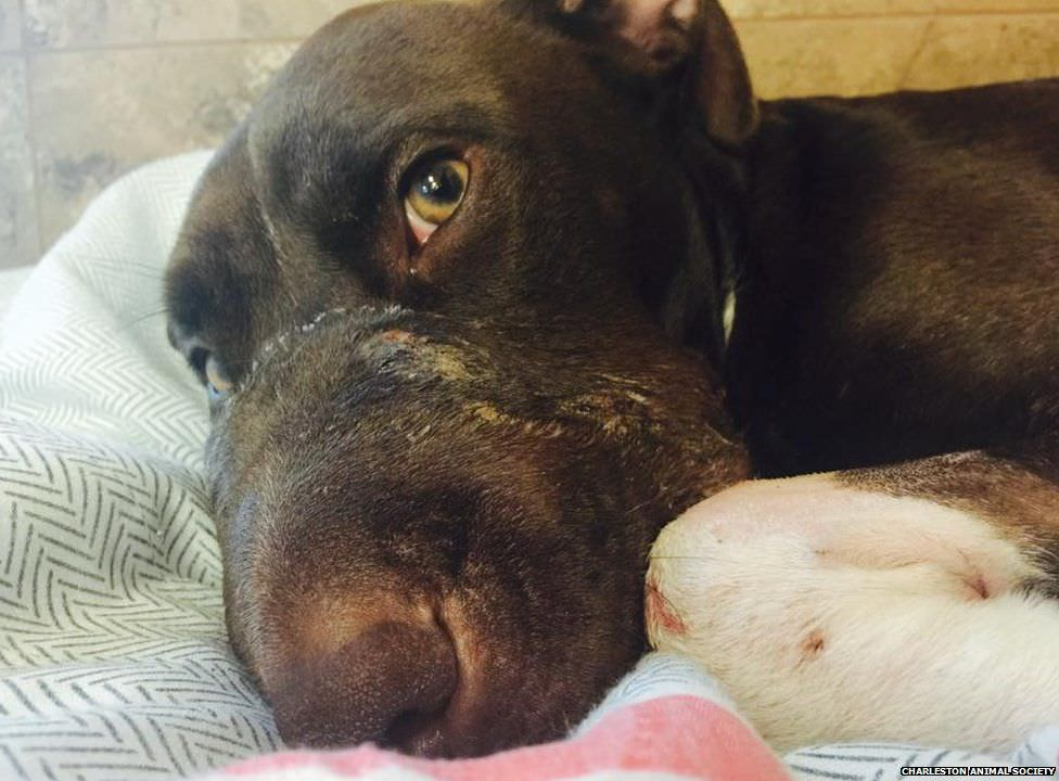 Caitlyn Dog Recovery Surgery A Success For Dog Found