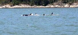 Killer whale pod spotted in Vancouver's Burrard Inlet (Video)
