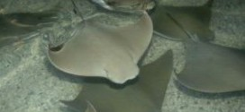 54 Stingrays Die after malfunction at Brookfield Zoo