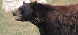 Bear charges hiker in Kananaskis Country, Report